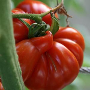 Tomates Variétés anciennes...
