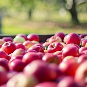 Pommes BIO : Opal, Désiré.....